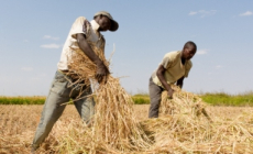FAO to boost food security in Africa through post-harvest management strategies